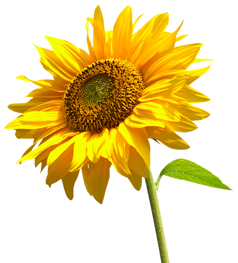 Sunflower ~ Helianthus annuus Plant Care Guide | Auntie Dogma's ...